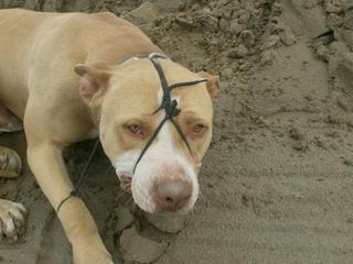 PitBull-Tied-Up-23245064.jpg