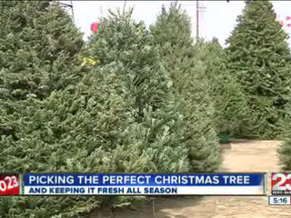 Selecting_the_best_Christmas_Tree_137670002_20121205210427