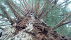 Amid CA drought, fears rise of trees dying