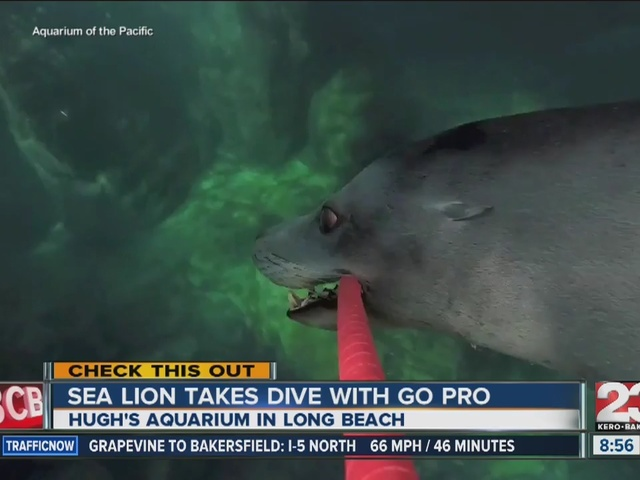 Sea Lion takes dive with a Go-Pro