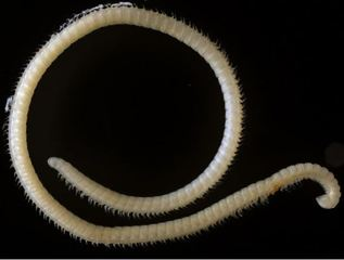 New species of millipede found in California