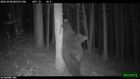 Bear caught scratching back on video