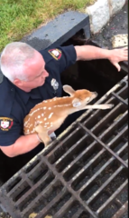 Police officer saves tiny deer in a storm drain