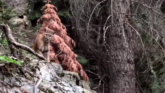 Watch hikers' terrifying encounter with mountain lion on High Sierra trail