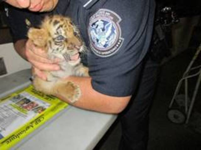 Smuggled baby tiger cub found by border guards in California