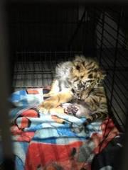 CBP rescues tiger cub
