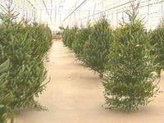 Recycling Christmas Trees in Bakersfield