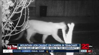 Mountain lion terrifying Tehachapi neighborhood