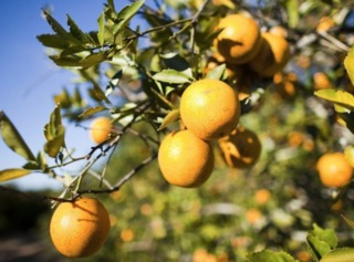Citrus crops growers implement freeze protection