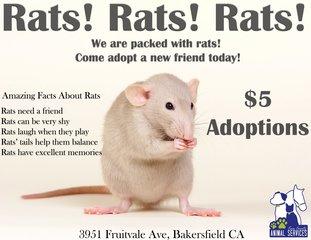Animal Services offering rat adoption