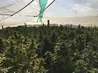 Assault weapons & 1,200 marijuana plants seized