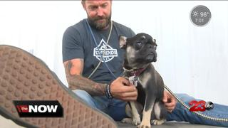 French bulldog Wade Wilson needs a home