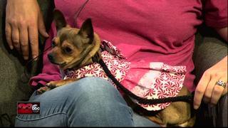 23ABC Pet of the Week: Female Chihuahua, Kiwi