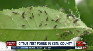 Asian citrus psyllids found in Kern County